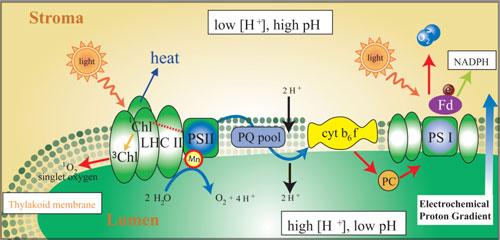 Lightdependent reactions photosynthesis reaction